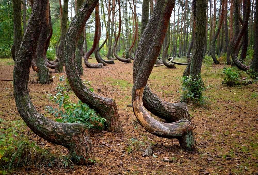Photo 1: Krzywy Las, la forêt magique