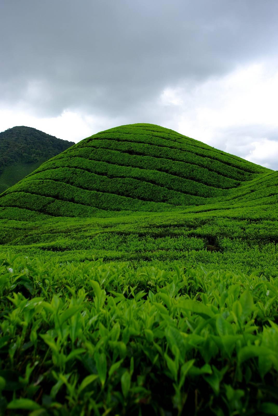 Photo 2: Cameron Highlands, balade dans les plantations de thé