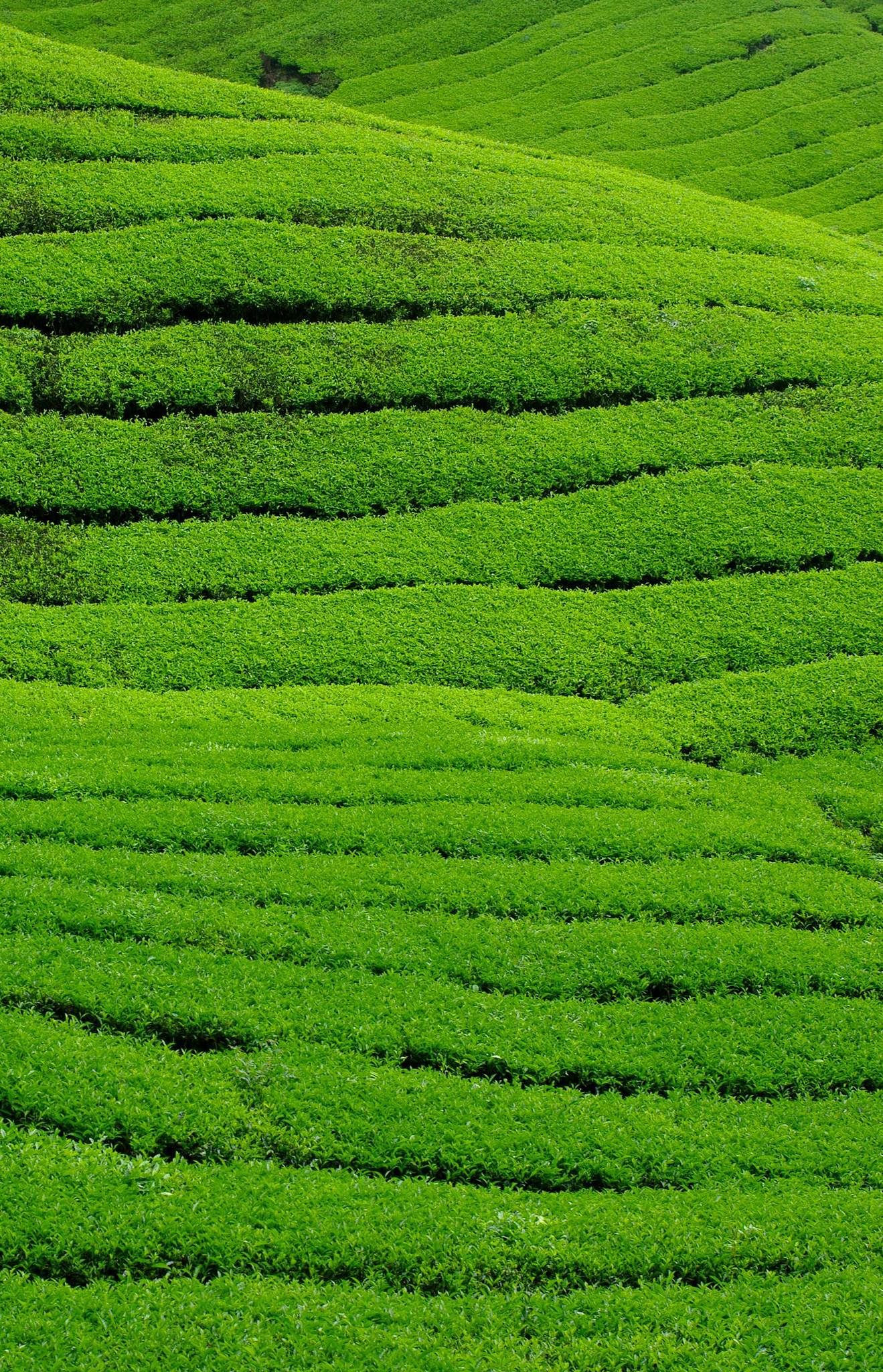 Photo 1: Cameron Highlands, balade dans les plantations de thé