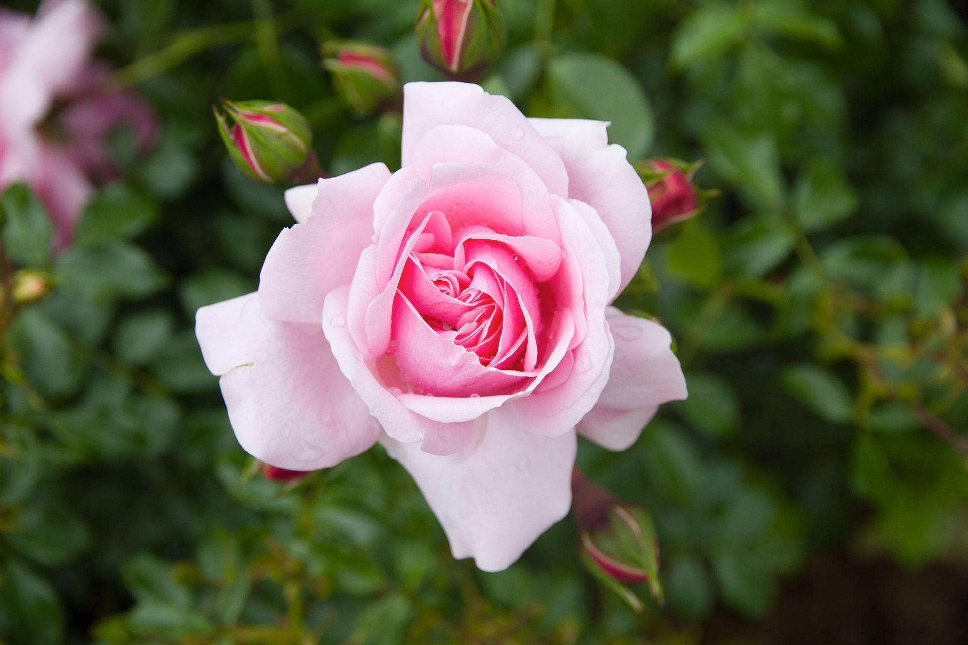 Photo 1: Florence - Le jardin des roses