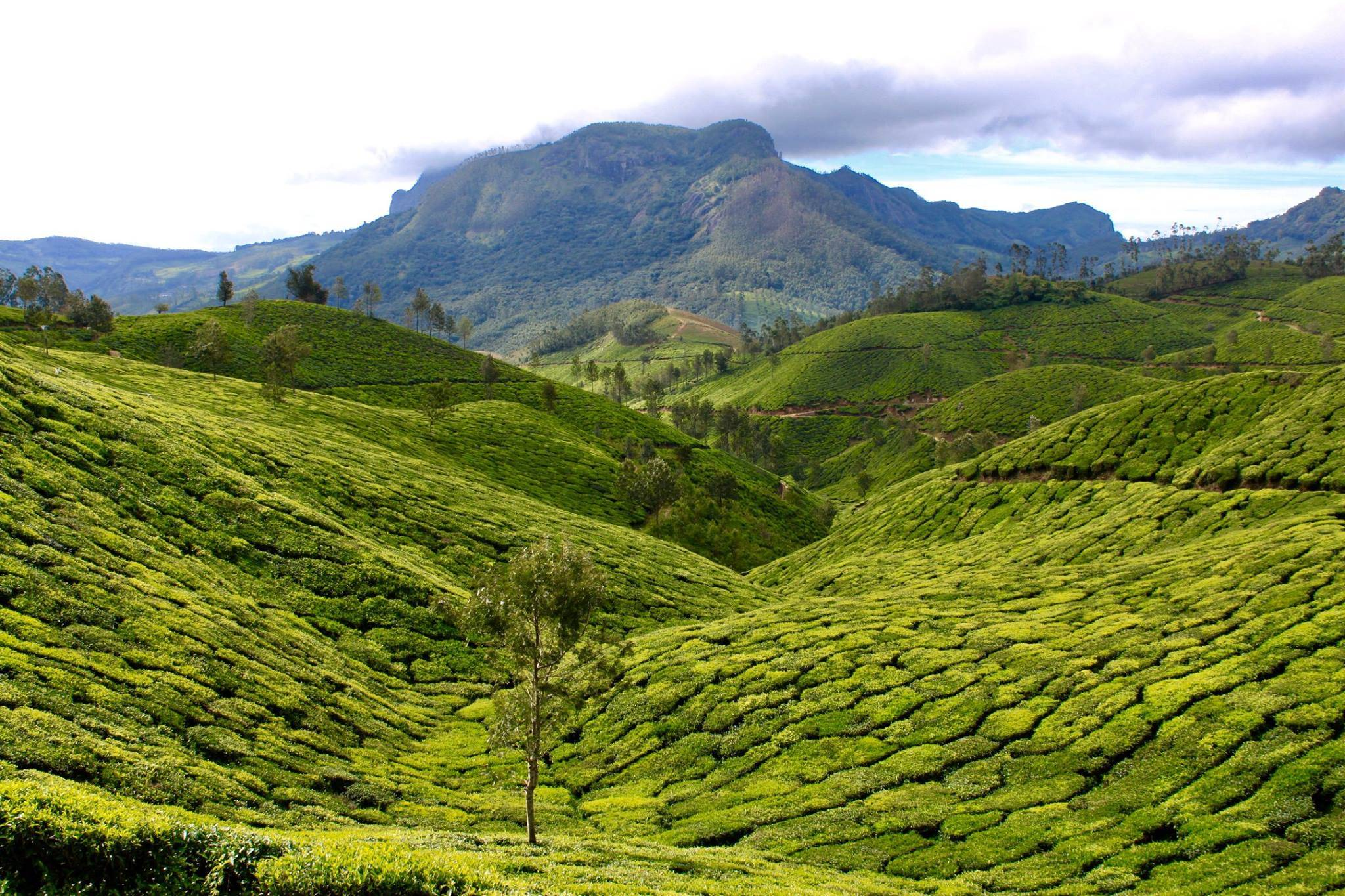 Photo 1: Plantations de thé à Munnar