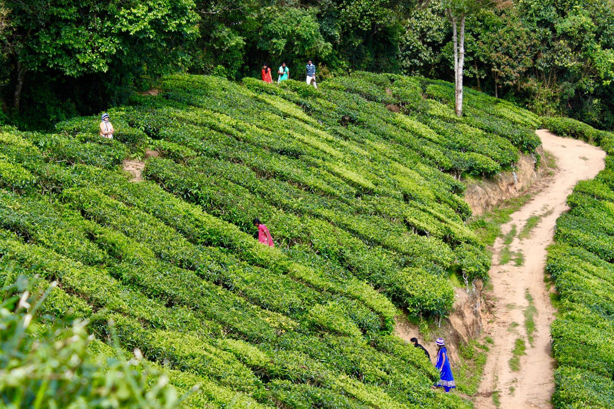Photo 2: Plantations de thé à Munnar