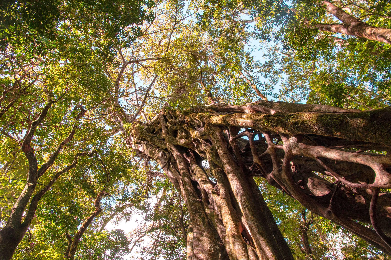 Photo 1: Grimper sur un Ficus - Monteverde - Canopy