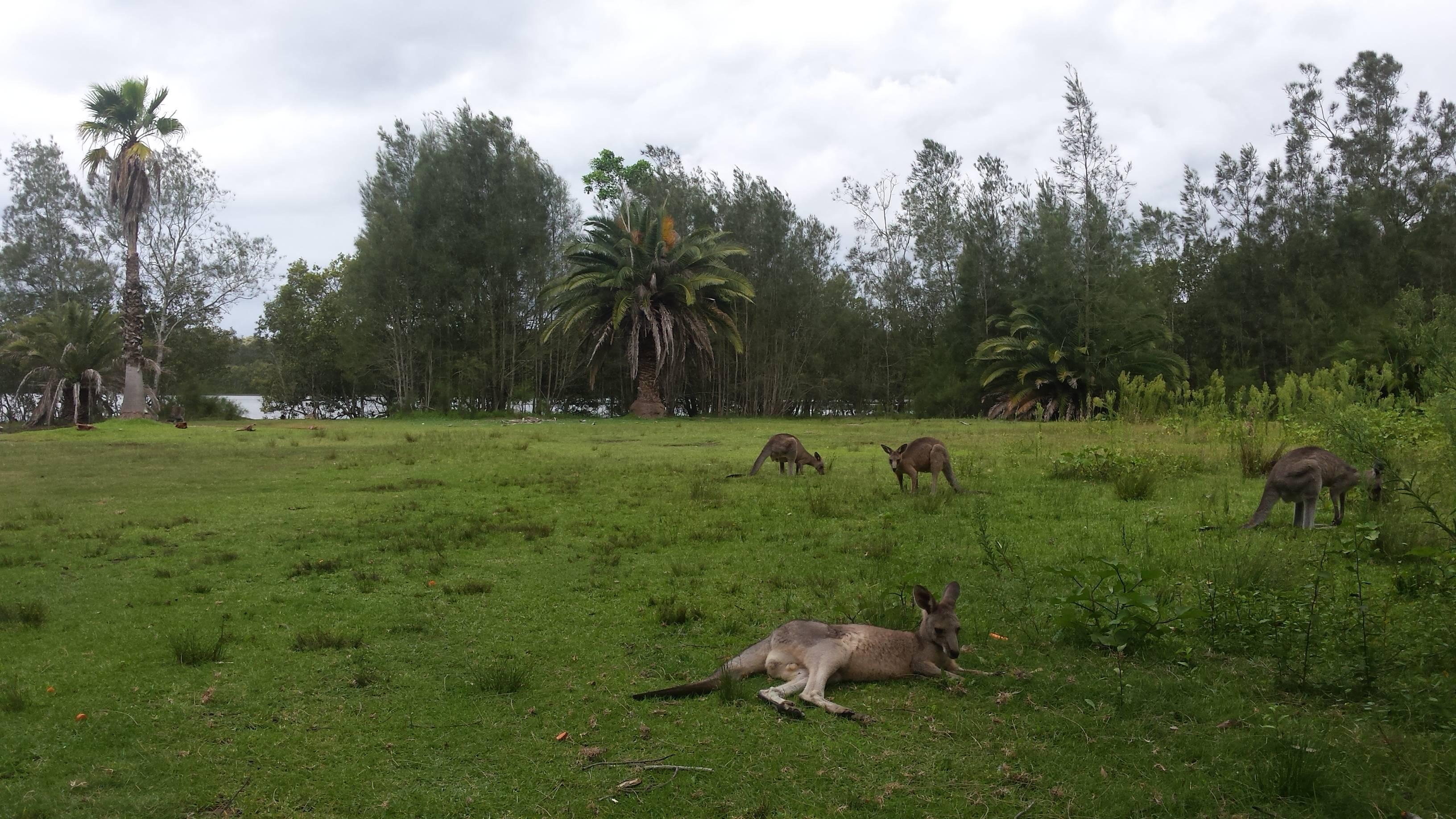Photo 1: Morisset park à la rencontre des kangourous.