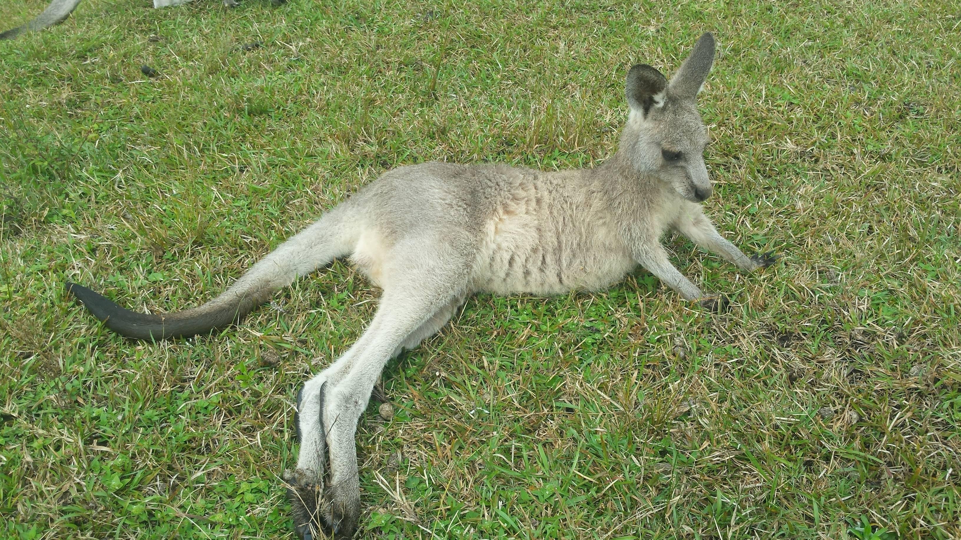 Photo 3: Morisset park à la rencontre des kangourous.