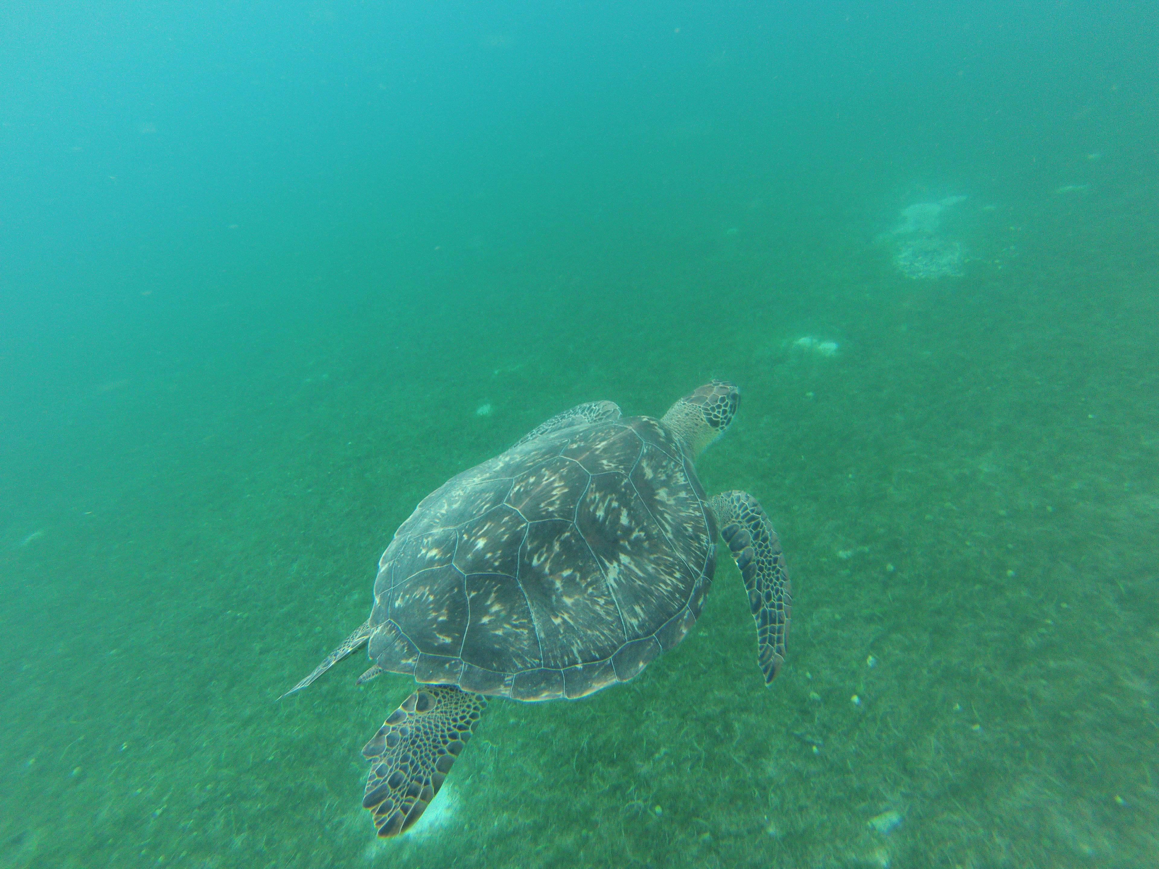 Photo 1: Martinique - PMT avec les tortues à Grande Anse