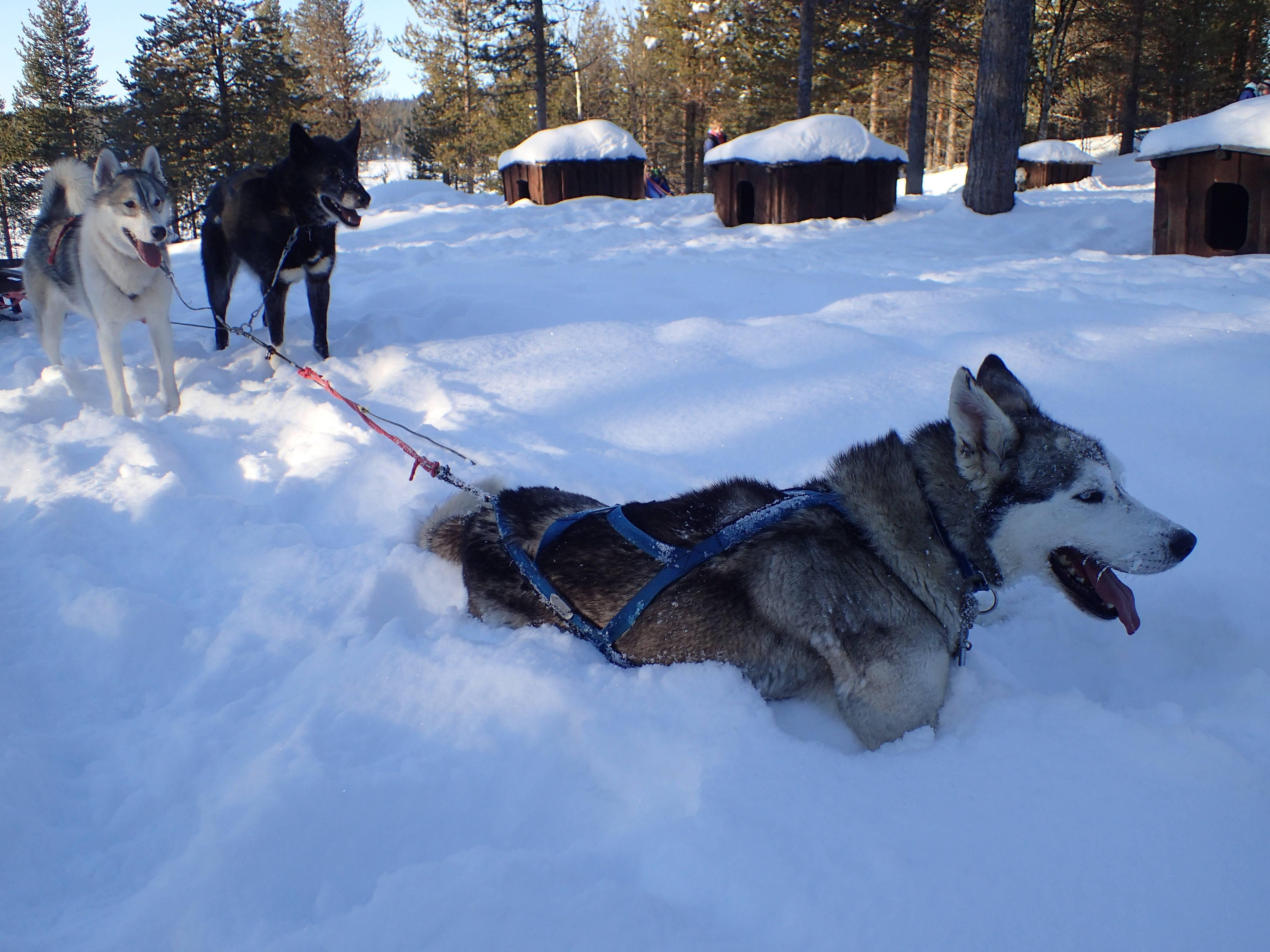 Photo 3: Une sortie en chiens de traineau, une expérience inoubliable !!!