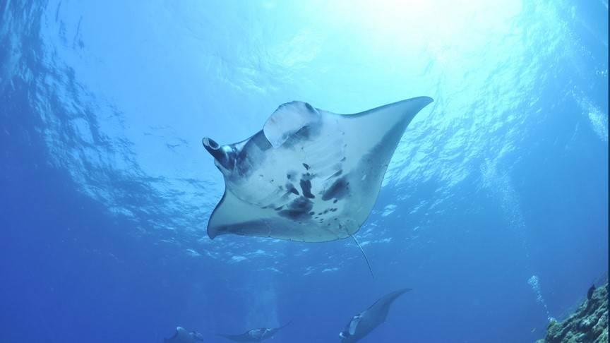 Photo 1: Snorkeling avec les Raies Manta